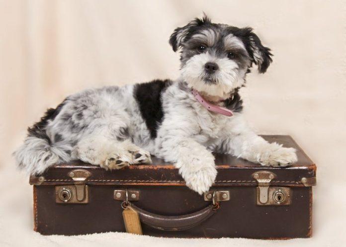 viajar com pets